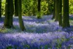 Bluebell woods in Derbyshire © Chris James