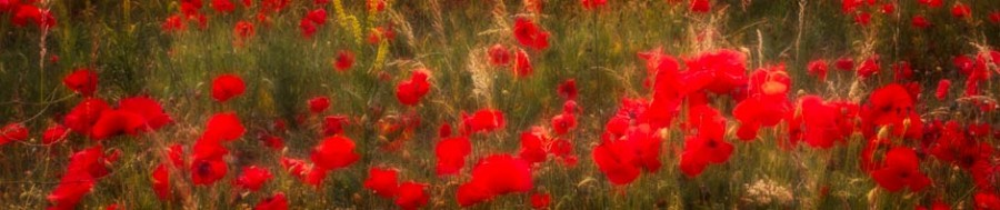 A field of poppies in Derbyshire. Photography course gift vouchers from Peak Digital Training. Photo © Chris James