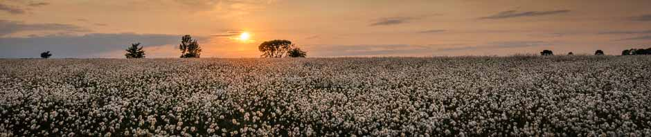 Cotton grass at sunset on a Peak District moor - one of the locations for photography courses run by Peak Digital Training