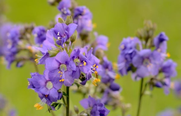 Jacob's ladder is one of the flowers we will see on this landscape photography course in the Derbyshire Peak District