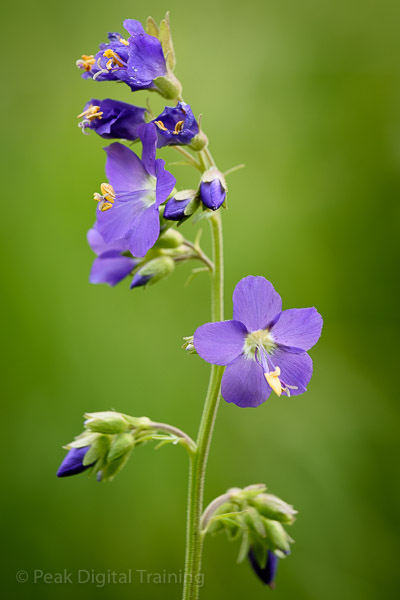 Jacobs Ladder growing in the Peak District. Photo © Chris James