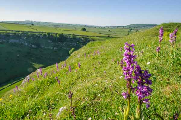 Orchids growing in a limestone dale in the Derbyshire Peak District. One of the locations for a nature photography course being run by Peak Digital Training
