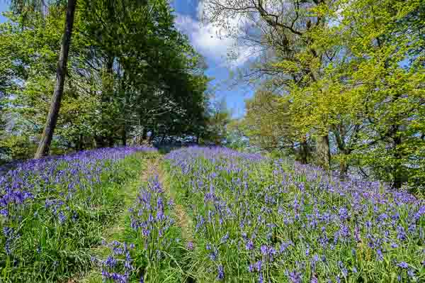 Bluebells on a Peak District landscape photography course by Peak Digital Training. Photo © Chris James