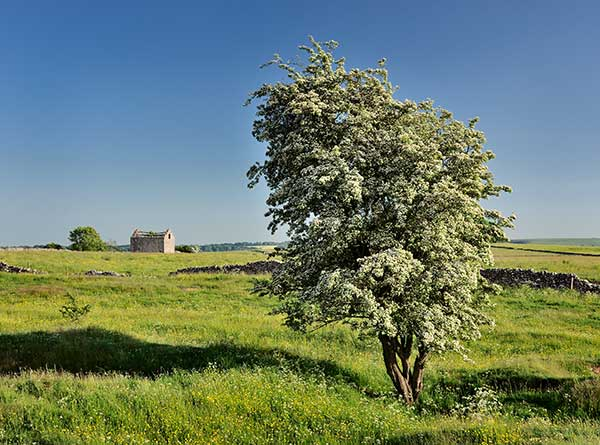 A Derbyshire field barn and hawthorn tree. Landscape and nature photography courses by Peak Digital Training