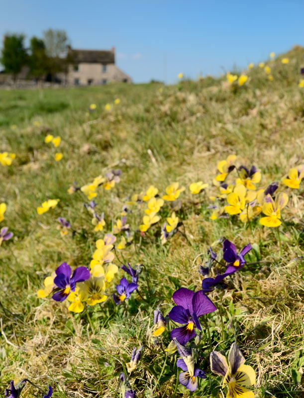 Mountain pansies growing at a location used by Peak Digital Training for photography courses. Photo © Chris James