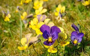 Mountain pansies growing in the Peak District, where Peak Digital Training is running a wild flower photography course.